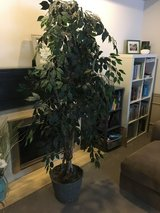 6 ft ficus tree in basket in Joliet, Illinois