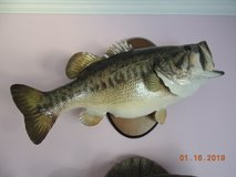 Bass mounted trophy in Byron, Georgia