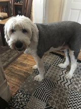 English Sheepdog available! in Oswego, Illinois