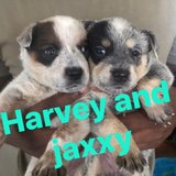 pure breed blue heeler puppies in Fort Leonard Wood, Missouri