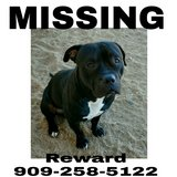 MISSING BLACK AND WHITE MALE PITBULL in 29 Palms, California