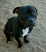 MISSING BLACK AND WHITE PITBULL in 29 Palms, California