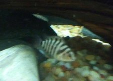 Convict Cichlid Fish in Fort Campbell, Kentucky