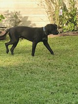 Black Labrador Lab 2 Year Old Neutered Male in Houston, Texas