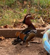 2 rooster and a Drake Mandarin Wood Duck in Fort Leonard Wood, Missouri