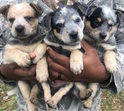 heeler puppies in Fort Leonard Wood, Missouri