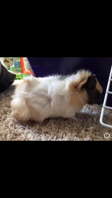 Male Baby Guinea Pig in Beaufort, South Carolina