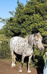 Horses for loan in Lakenheath, UK