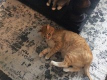 Lovable Cat Free to good home in Kingwood, Texas