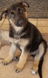 Pure Breed German Shepherd Puppy in Lackland AFB, Texas