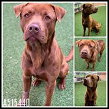 Urgent Fosters and Adopters Needed in Lackland AFB, Texas