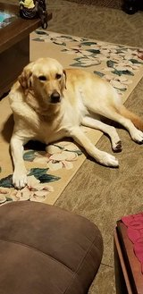 Yellow Lab looking for love in Fort Leonard Wood, Missouri