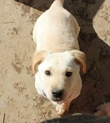 13 week old male yellow lab in Fort Knox, Kentucky