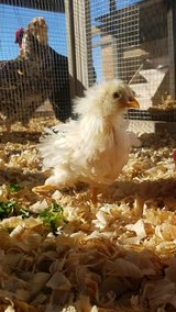 Looking for bantam hen in Alamogordo, New Mexico