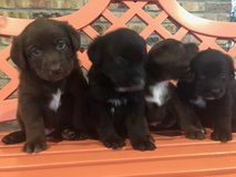 Aussiedor Puppies - Australian Shepherd Lab Mix in Cleveland, Texas
