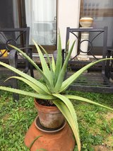 Aloe Plant (as shown in picture) in Okinawa, Japan
