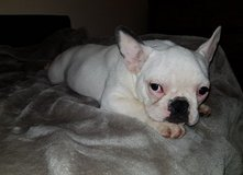 cute loving and stuning french bull dog for adoption in 29 Palms, California