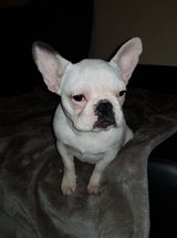 cutee stuning french bull dog for adoption in 29 Palms, California