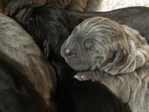 Neapolitan Mastiff Puppies in Conroe, Texas
