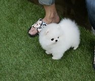 Tiny Teacup Pomeranian Puppies For Adoption-sMs-(317) 449-2175 in Camp Pendleton, California