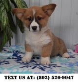 Ingenious Pembroke Welsh Corgi Puppies for Adoptions in Dover AFB, Delaware