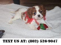 Innovative Cavalier King Charles Puppies for Adoptions in Dover AFB, Delaware