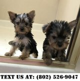 Intuitive Yorkshire terrier Puppies for Adoptions in Dover AFB, Delaware