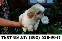 Inventive Shih Tzu Puppies for Adoptions in Dover AFB, Delaware