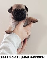 Intellectual Pug puppies for Adoptions in Dover AFB, Delaware
