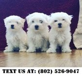 Intelligent Bichon Frise Puppies for Adoptions in Dover AFB, Delaware