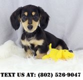 Lovable Dachshund Puppies for Adoptions in Dover AFB, Delaware