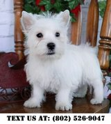 Marvelous West Highland White Terrier Puppies for Adoptions in Dover AFB, Delaware