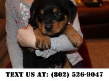 Motivating Rottweiler Puppies for Adoptions in Dover AFB, Delaware