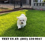 Courteous West Highland White Terrier Puppies for Adoptions in Schofield Barracks, Hawaii