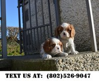 Caring Cavalier King Charles Puppies for Adoption in Mobile, Alabama