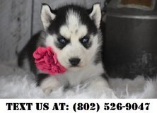 Caring Siberian Husky Puppies for Adoption in Mobile, Alabama
