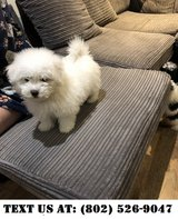 Caring Bichon Frise Puppies for Adoption in Mobile, Alabama