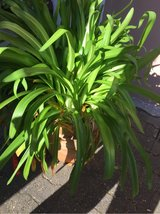 giant agapanthus in clay pot in Ramstein, Germany