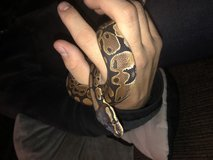 Ball python male with tank and supply in Naperville, Illinois