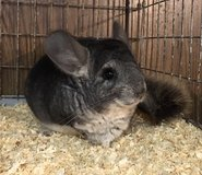 7 Month Old Standard Grey Male Chinchilla -- very calm! in Chicago, Illinois