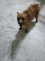 Yorkie Chihuahua mix in Cleveland, Texas