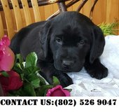 Beautiful Labrador Retrievers Puppies for Adoption in Beale AFB, California