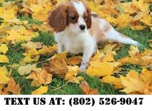 Beautiful Cavalier King Charles Puppies for Adoption in Beale AFB, California