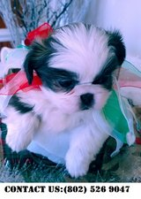 Fearless Shih Tzu Puppies for Adoption in Miramar, California