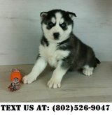 Fearless Siberian Husky Puppies for Adoption in Miramar, California