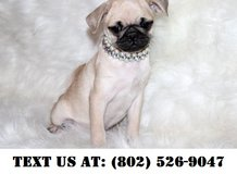 Fearless Pug puppies for Adoption in Miramar, California