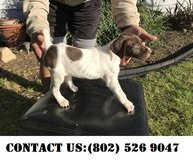 Fearless German Shorthaired Pointer puppies for Adoption in Miramar, California