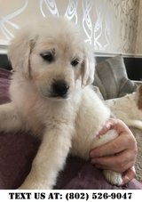 Fearless Golden Retriever Puppies for Adoption in Miramar, California