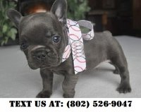Fearless French Bulldog Puppies for Adoption in Miramar, California