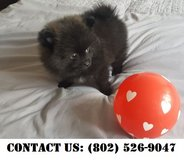 Fearless Pomeranian Puppies for Adoption in Miramar, California